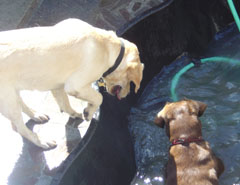 Dogs in the pool